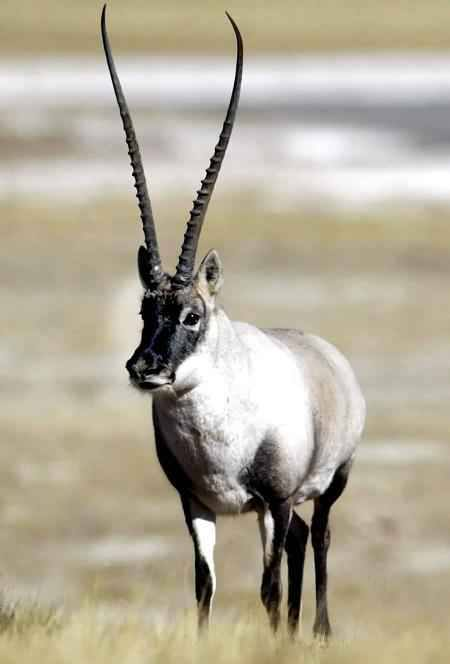 The Tibetan antelope lives at dizzying altitudes of 4000-5000m