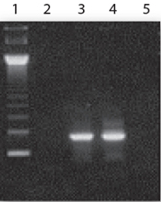 14CycleScript RT gentaur RT-PCR PreMix RocketScript gentaur Cycle RT antibodies PreMix