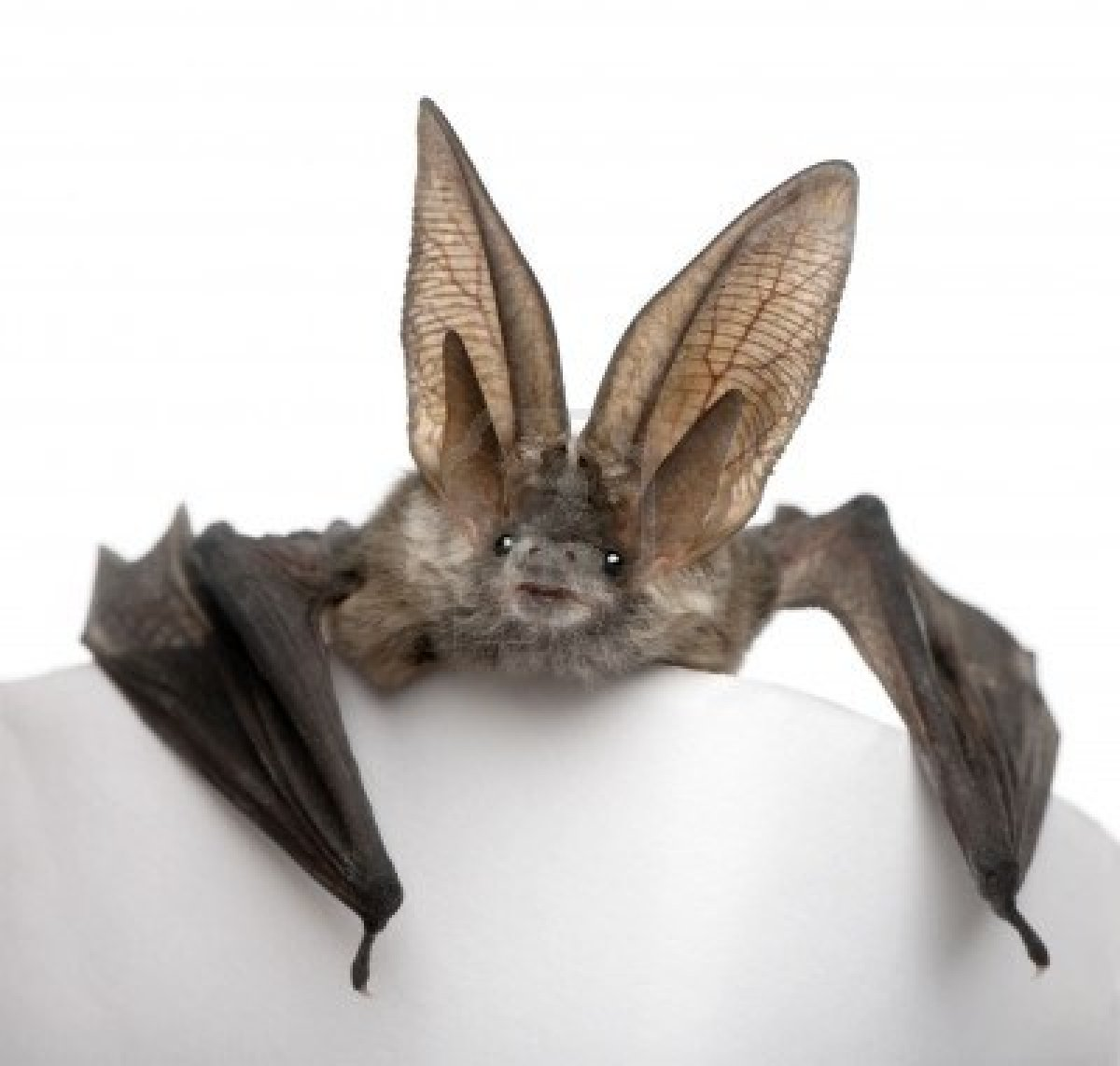 grey-long-eared-bat-plecotus-astriacus-in-front-of-white-background-studio-shot